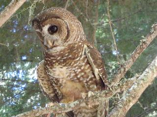 Model explains barred owls' domination over...