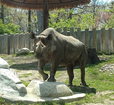 Phineus: Potter Park Zoo's Male Black Rhino