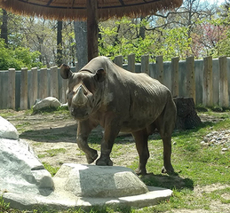 Phineus: Potter Park Zoo's Male Black Rhino