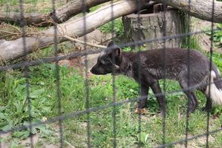 FOX 47 arctic fox exhibit is expanding!