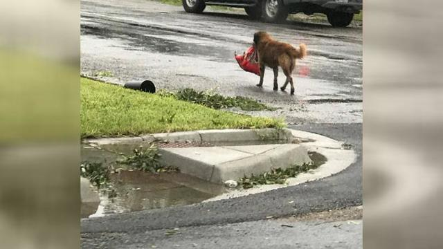 Hurricane Harvey: Dog spotted carrying large bag of food