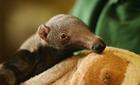 Potter Park in Lansing welcomes giant anteater