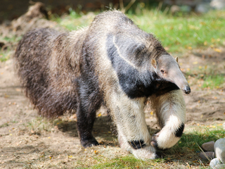 Potter Park in Lansing welcomes giant anteater