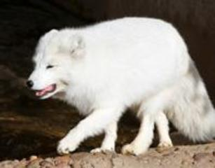 Arctic Fox: Characteristics, behavior and more