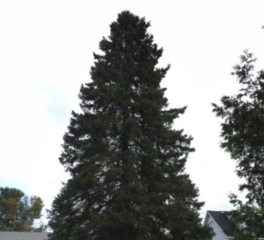 State Christmas tree to be harvested this week