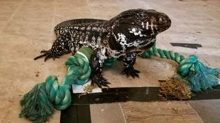 Winston the Tegu, internet star