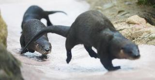 Otter pups on display