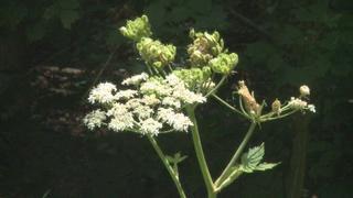 Are giant hogweeds growing in your neighborhood?