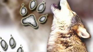Officials to relocate wolves to Isle Royale Park