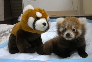 Zoo Announces Baby Red Panda Now On Exhibit