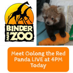 Happening Now - Meet Baby Red Panda!