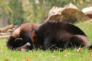 Detroit Zoo welcomes new baby wolverines